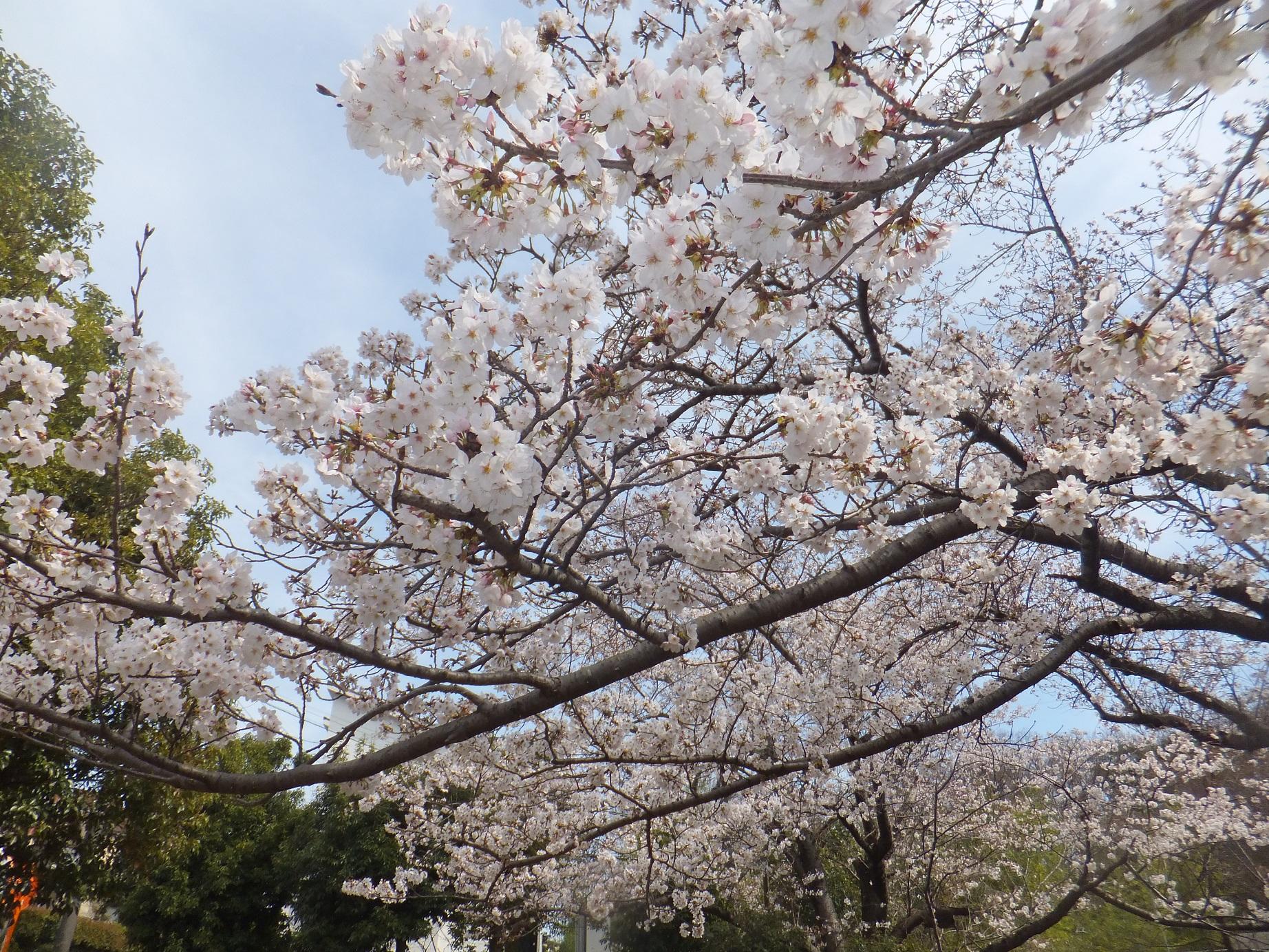 桜が満開の季節